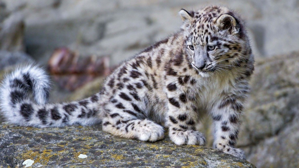 snow-leopard-wallpaper2-1024x576
