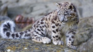 leopardo da neve wallpaper HD
