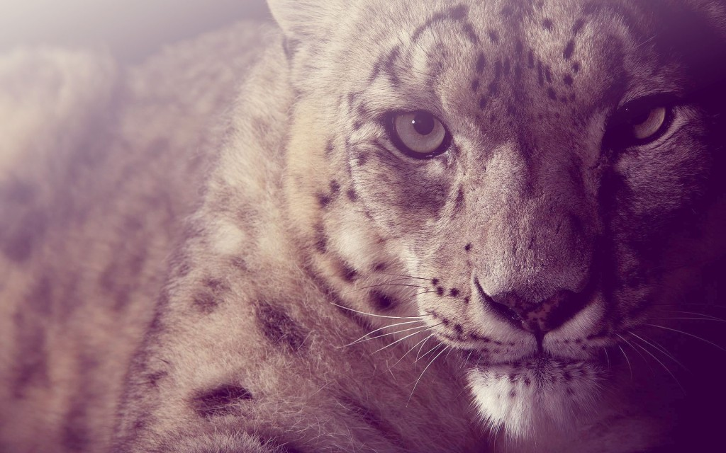 snow-leopard-wallpaper4-1024x640