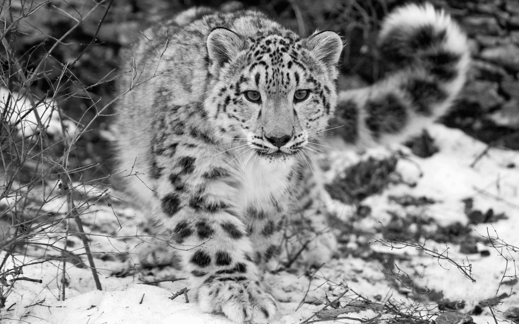 snow-leopard-wallpaper6-1024x640
