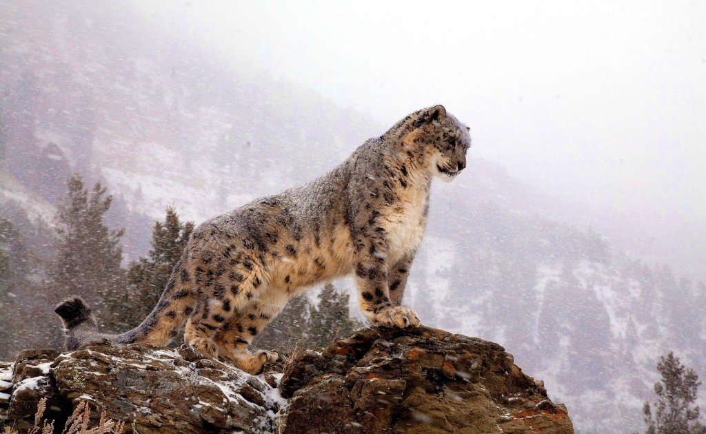 snow-leopard-wallpaper8-1024x630