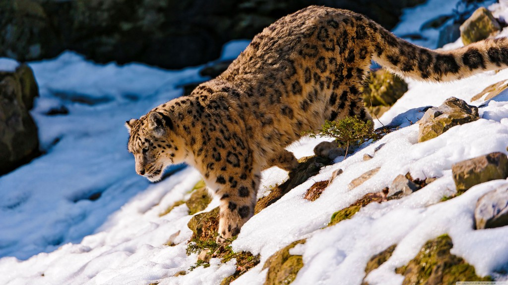 snow-leopard-wallpaper9-1024x576