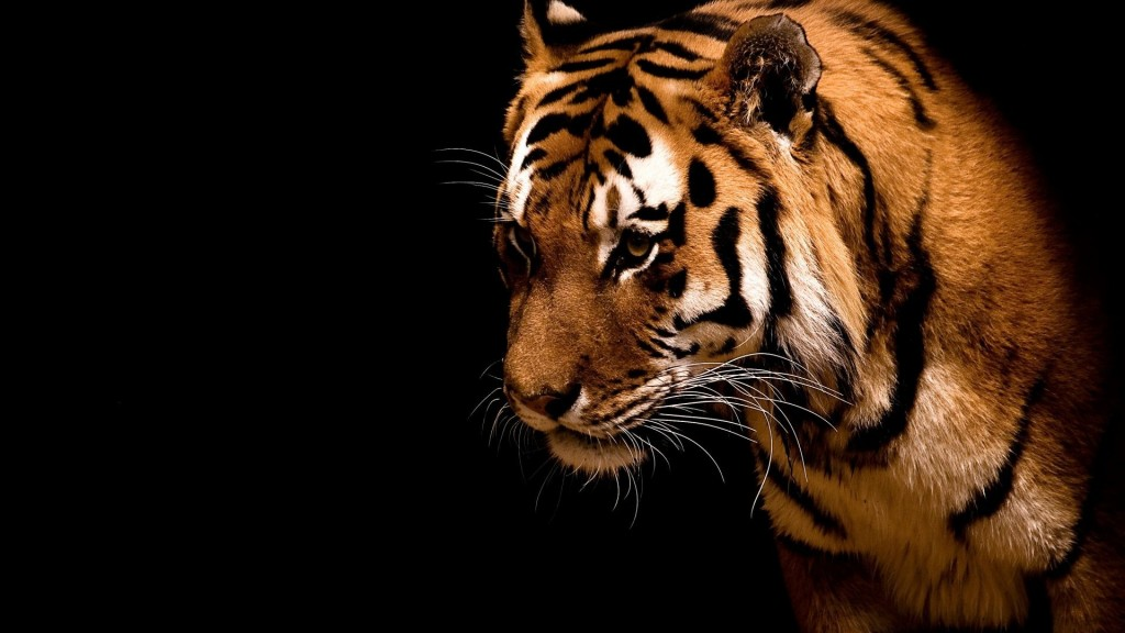 Tiger Wallpapers2