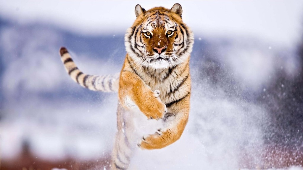 Tiger Wallpapers3