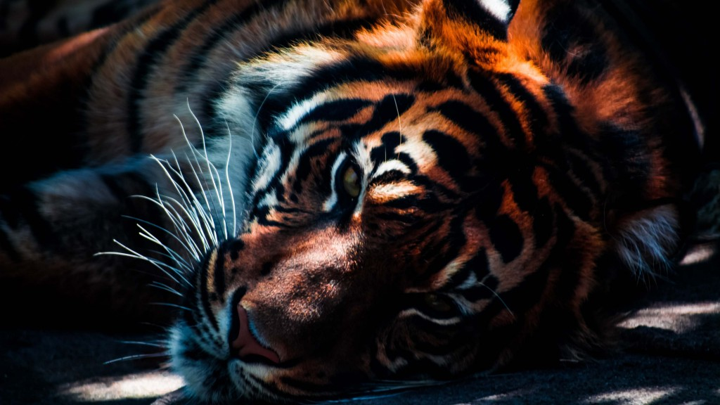 tiger wallpapers4