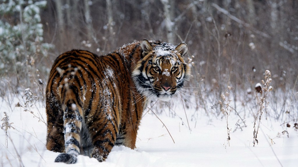 tiger-wallpapers6-1024x576