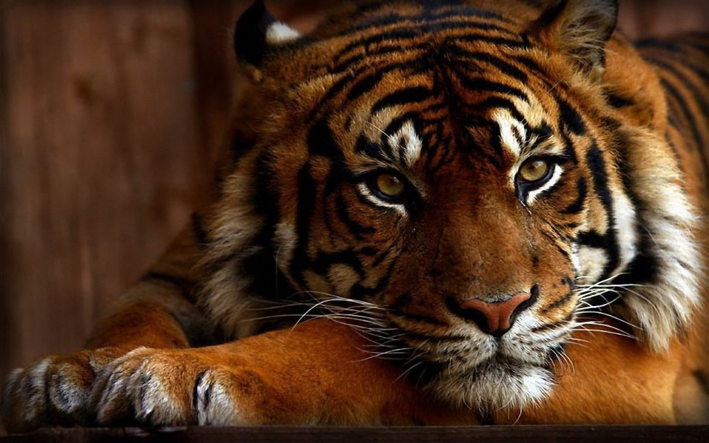 Tiger wallpapers7