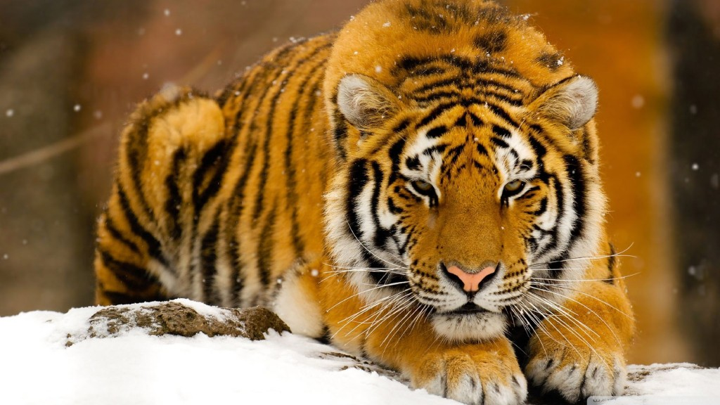 tiger wallpapers8