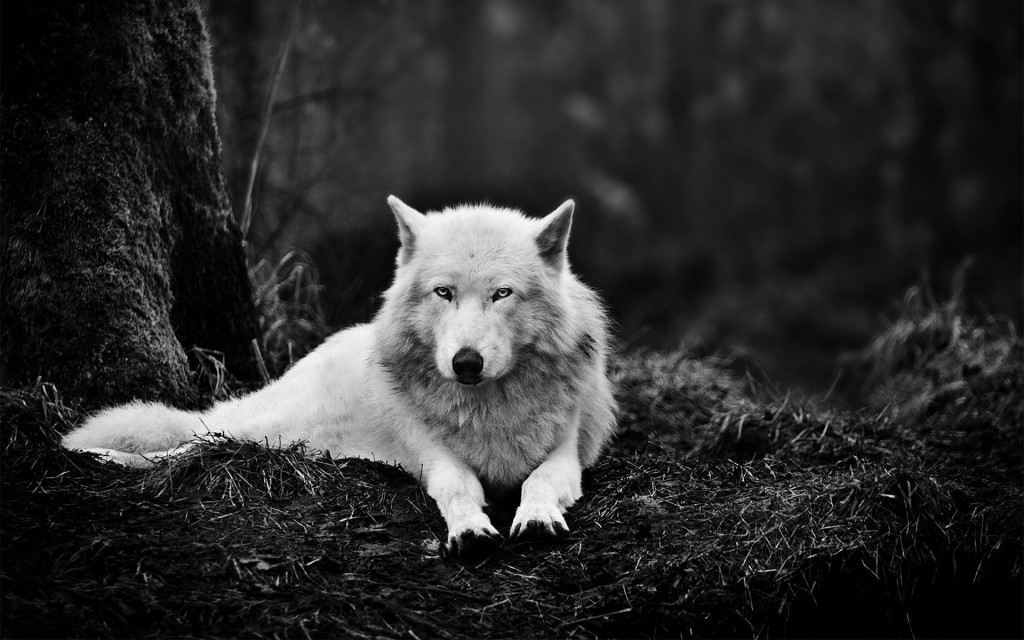 wolf wallpapers4