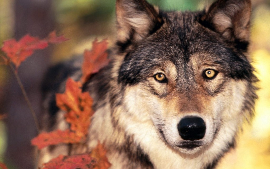 wolf wallpapers9