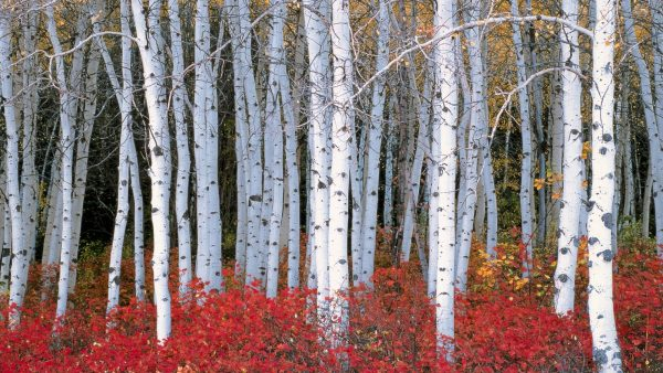 birch wallpaper HD2