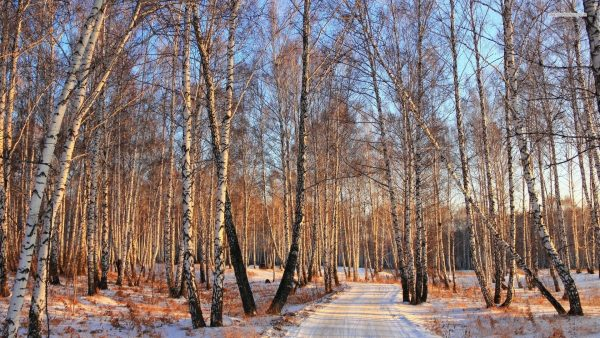 birch-wallpaper-HD6-600x338