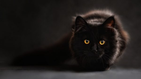 black cat wallpaper HD4