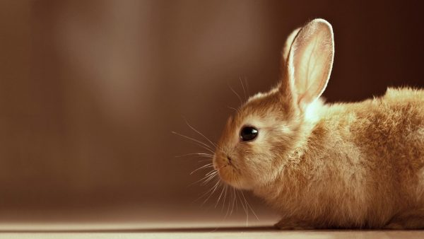 bunny wallpaper HD1