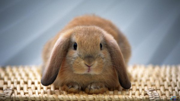 bunny-wallpaper-HD3-600x338