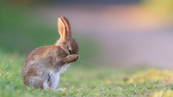 bunny-wallpaper-HD5-600x338