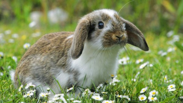 bunny-wallpaper-HD7-600x338
