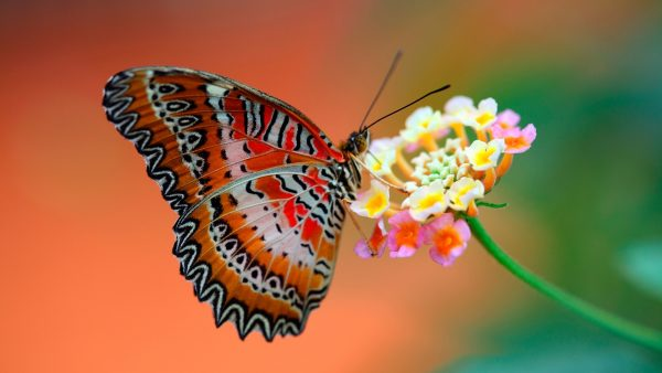 butterflies wallpaper HD2