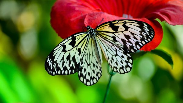 butterflies wallpaper HD4
