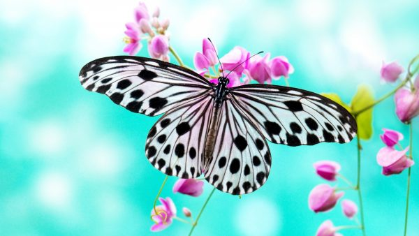 butterflies wallpaper HD8