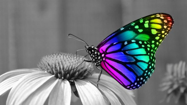 butterflies wallpaper HD9