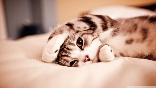 cat-wallpaper-hd-HD2-600x338