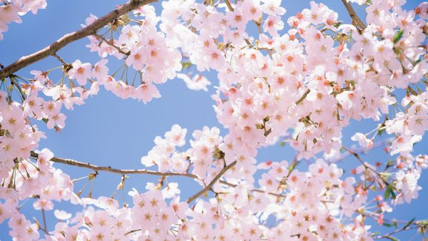 cherry blossoms wallpaper HD1
