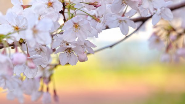 cherry blossoms wallpaper HD10