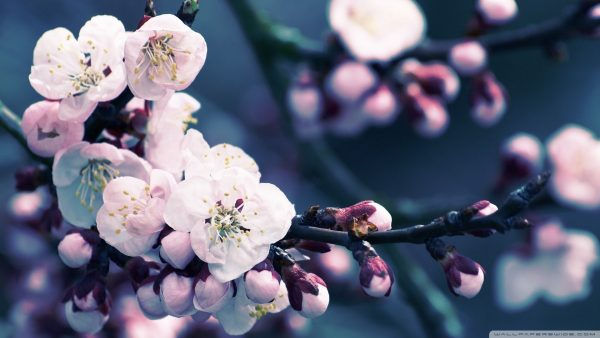 cherry blossoms wallpaper HD2