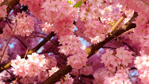 cherry blossoms wallpaper HD3
