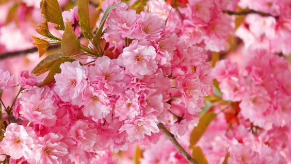 cherry blossoms wallpaper HD5