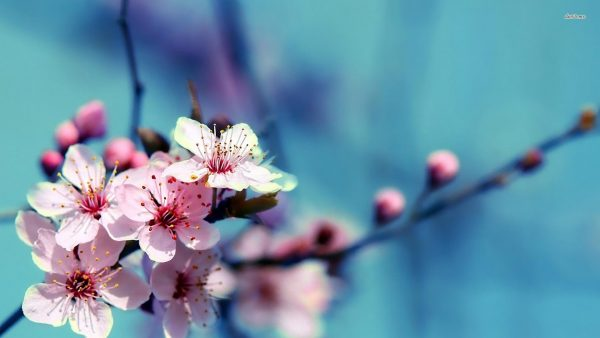 cherry blossoms wallpaper HD6