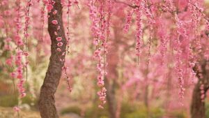 Cherry Blossoms kertas dinding HD