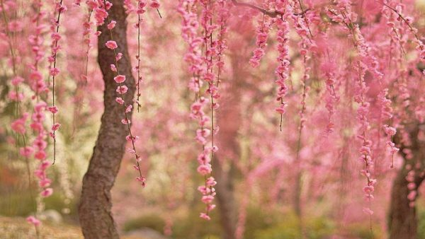 cherry blossoms wallpaper HD7