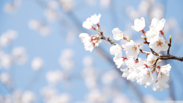 cherry blossoms wallpaper HD8