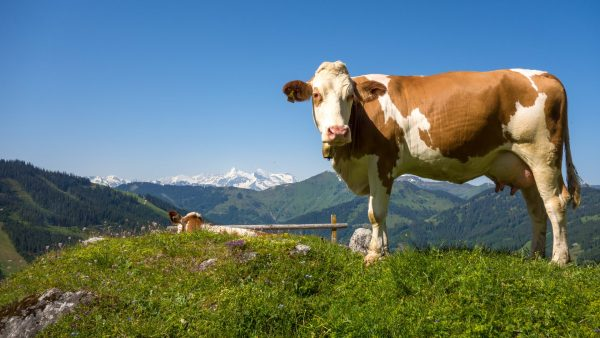 cow-wallpaper-HD1-600x338