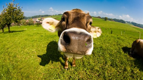 cow-wallpaper-HD4-600x338