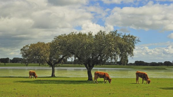 cow-wallpaper-HD7-600x338