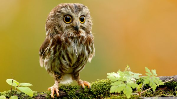 cute-owl-wallpaper-HD1-600x338
