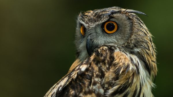 cute-owl-wallpaper-HD7-600x338