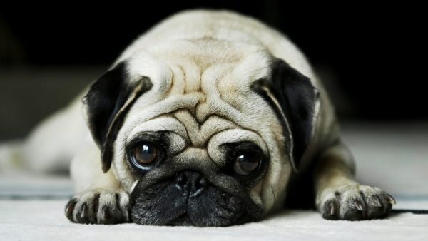 dog-wallpapers-HD1-600x338
