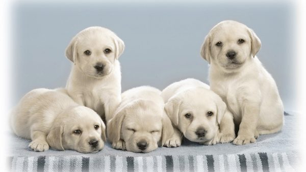 dog-wallpapers-HD3-600x338