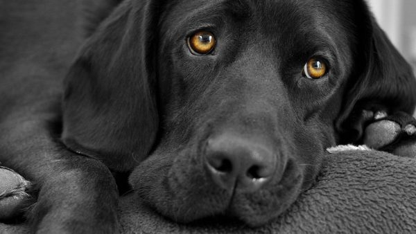 dog-wallpapers-HD7-600x338