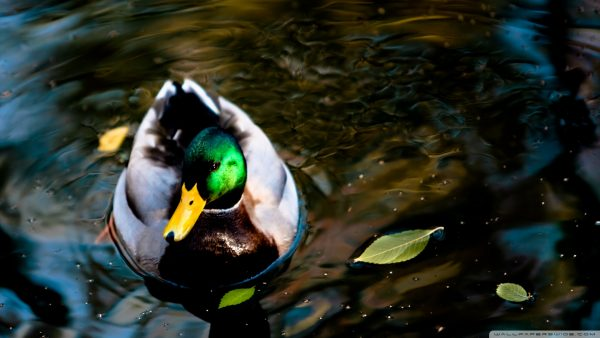 duck wallpaper HD5