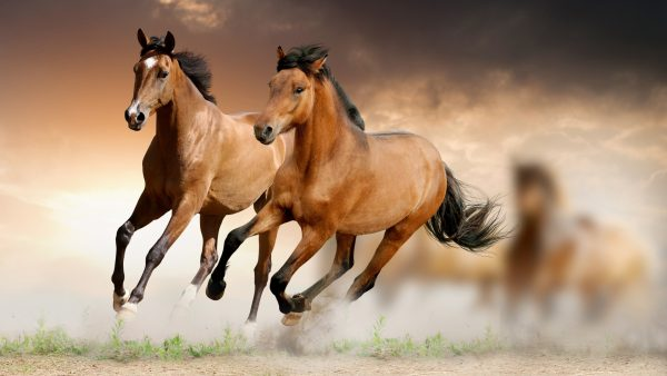 horses wallpaper HD2