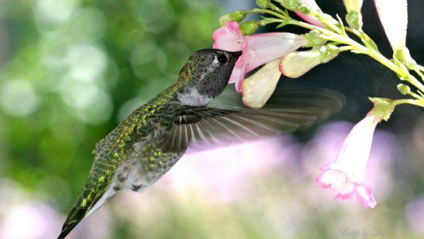 hummingbird-wallpaper-HD1-600x338