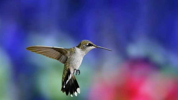 hummingbird-wallpaper-HD10-600x338