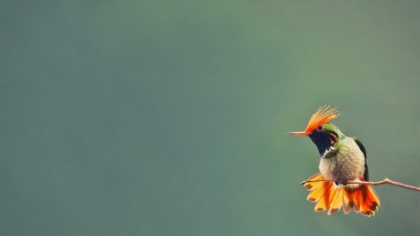 hummingbird-wallpaper-HD2-600x338