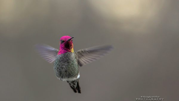 hummingbird wallpaper HD3