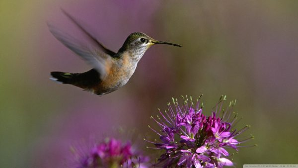 hummingbird wallpaper HD6